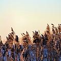 Iowa Cane by Bonfire Photography