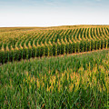 Iowa Corn Field by Sharon Foelz