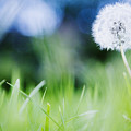Ireland, County Westmeath, Dandelion In Meadow by Jamie Grill
