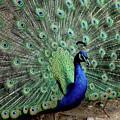 Iridescent Blue-green Peacock by LeeAnn McLaneGoetz McLaneGoetzStudioLLCcom