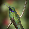 Iridescent Hummingbird With Purple  by Penny Lisowski