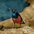 Iridescent Starling by Sergey Lukashin