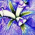 Iris 12 by Sarah Loft