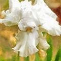 Iris 42 by Paulette B Wright