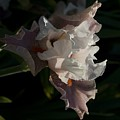 Iris 5 by Sara Stevenson