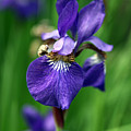 Iris by Amanda Barcon