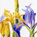 Iris And Flag by Linda Hoover
