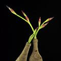 Iris by Bernard Jaubert