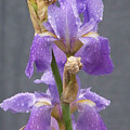 Iris Blooms In The Rain by Laurie Kidd