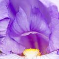 Iris Blossom by Dina Calvarese