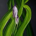 Iris Buds  49 by Cheryl Nancy Ann Gordon