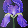 Iris by Carolyn Shireman