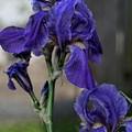 Iris by Christina Durity
