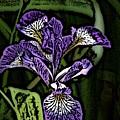 Iris by David Lane