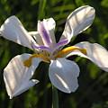 Iris by Diane Greco-Lesser