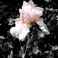 Iris Emergance by Steve Karol