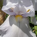 Iris Eyes by Susan Baker