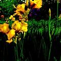 Iris Field In Abstract by Marsha Heiken