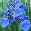 Iris Floral  by MTBobbins Photography