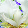 Iris Flower Art Print White Blue Purple Irises Baslee Troutman by Baslee Troutman