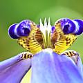 Iris Flower by Heiko Koehrer-Wagner