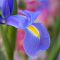 Iris Flower by Mimi Ditchie