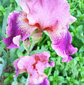 Iris Flower Photograph I by Sipporah Art and Illustration