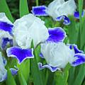 Iris Flowers Art Prints Blue White Irises Floral Baslee Troutman by Baslee Troutman