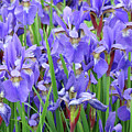 Iris Flowers Artwork Purple Irises 9 Botanical Garden Floral Art Baslee Troutman by Baslee Troutman