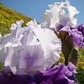 Iris Flowers Purple White Irises Poppy Hillside Landscape Art Prints Baslee Troutman by Baslee Troutman