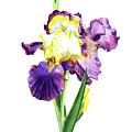 Iris Flowers Watercolor  by Irina Sztukowski
