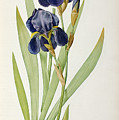 Iris Germanica by Pierre Joseph Redoute