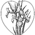 Iris Heart Drawing 3 by Gordon Punt