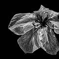 Iris In Black And White by Janet Ballard