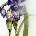Iris In Bloom by Mindy Newman