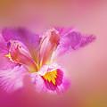Iris In Mist by Judi Bagwell