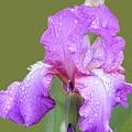 Iris In Summer Rain  by Regina Geoghan