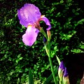 Iris In Sunshine by Debra Lynch