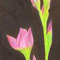 Iris by Jackie Irwin