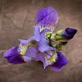 Iris by Jennifer Day