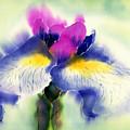 Iris Kaempheri Nikko by Addie Hocynec