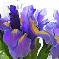 Iris by Kathy Moll