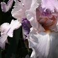 Iris Lace by Steve Karol