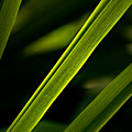 Iris Leaves by  Onyonet  Photo Studios