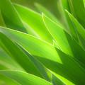 Iris Leaves by Utah Images