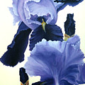 Iris by Melissa Joyfully