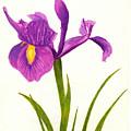Iris by Michael Vigliotti