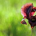 Iris by Ofer Zilberstein