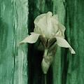 Iris On Green by Marsha Heiken