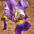 Iris On Vintage 1912 Postcard by Nina Silver